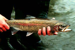 Rainbow_trout_fish