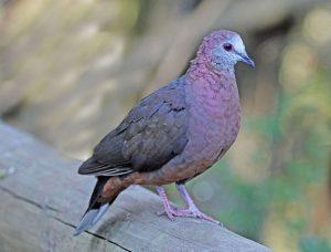 cinnamon-dove